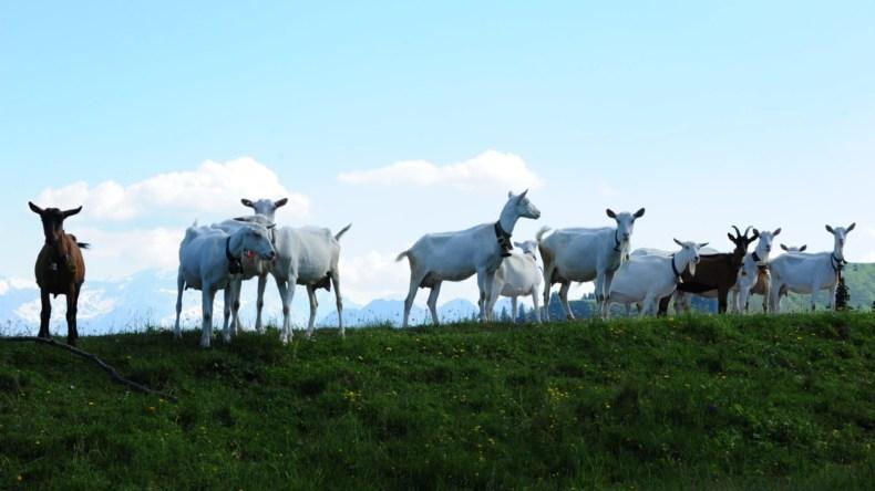 Ziegenherde auf der Alp
