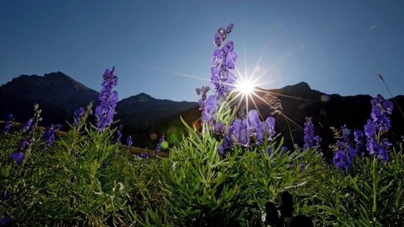 Blumen vor Sonnenuntergang Lenk-Simmental