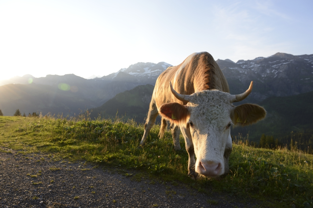Simmental cow in front of the Wildstrubel massif
