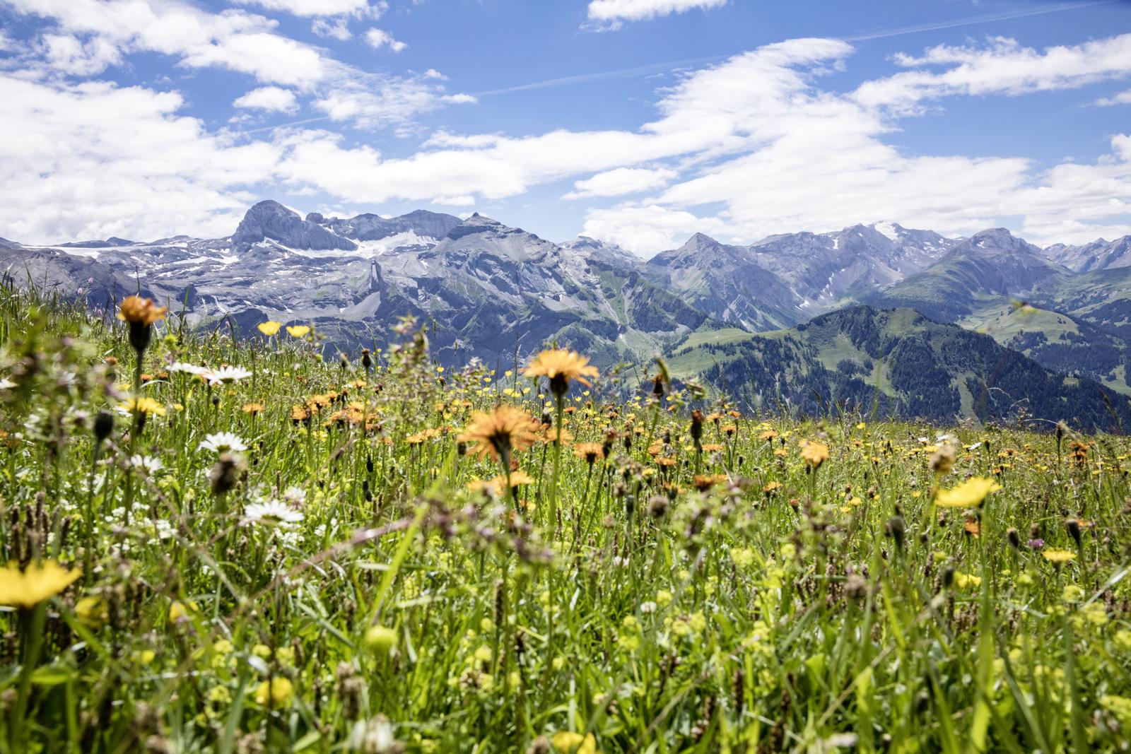 Blumen Wildstrubelmassiv Metsch