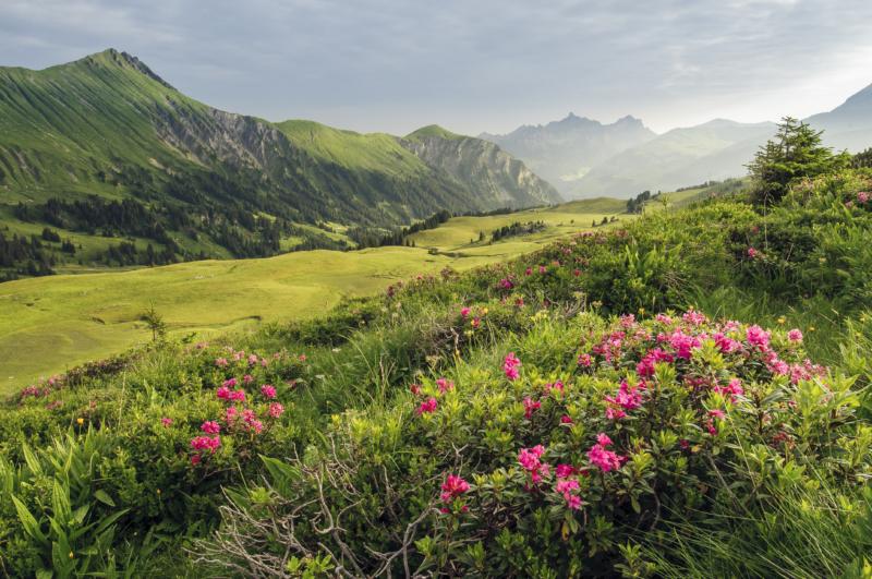Alpenrosen Betelberg