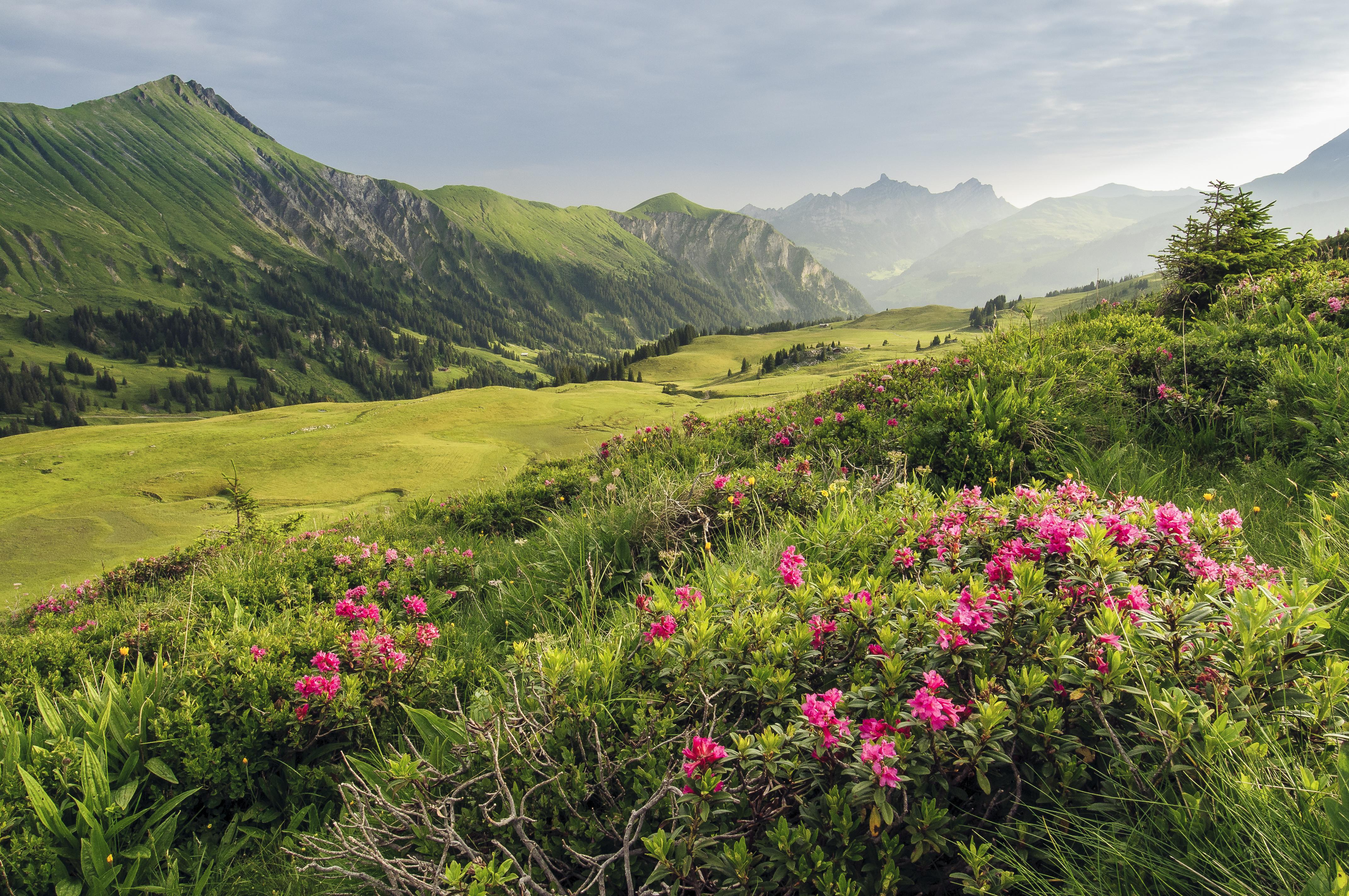 Roses des alpes Betelberg